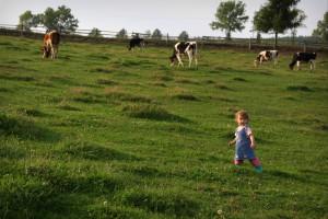 foto krowy